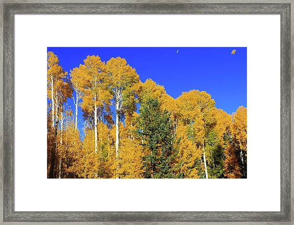 Framed Print featuring the photograph Arizona Aspens And Blowing Leaves by Dawn Richards