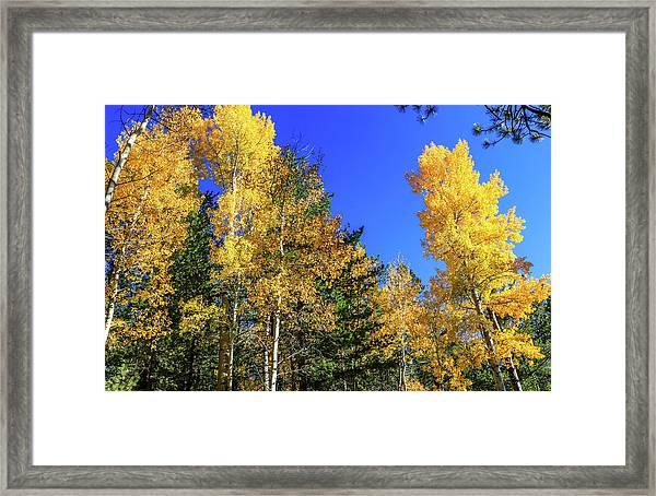Arizona Aspens In Fall 1 Framed Print