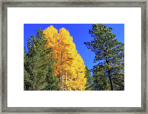 Framed Print featuring the photograph Arizona Aspens In Fall 4 by Dawn Richards