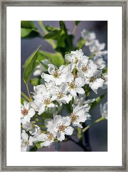Asian Pear In Bloom Framed Print by Maria Mosolova