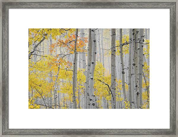 Aspen Forest Texture Framed Print