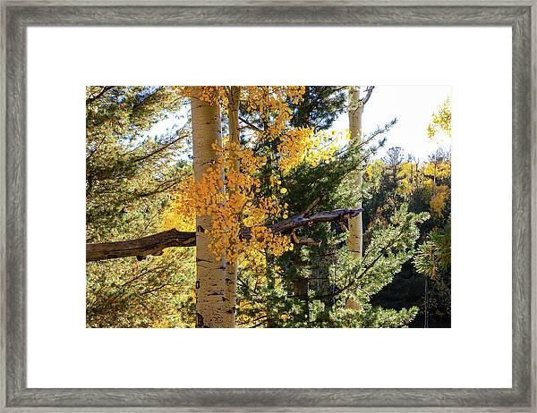 Framed Print featuring the photograph Aspen Tree Close by Dawn Richards