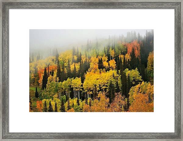 Aspens In Fog Framed Print