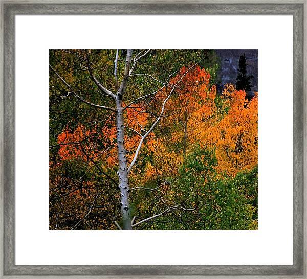 Aspens In Orange Framed Print