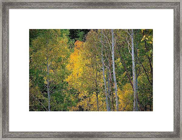 Aspens In Yellow Framed Print