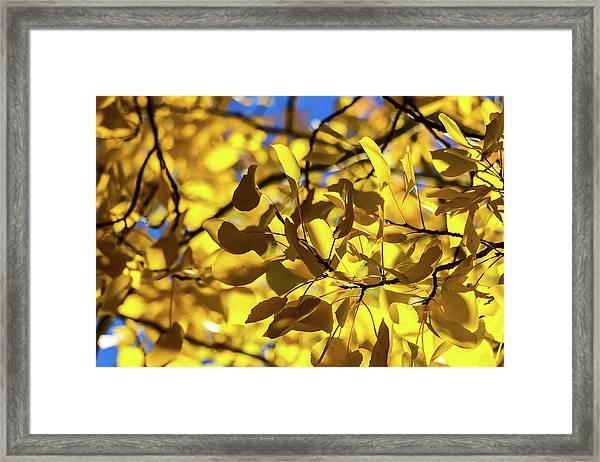 Aspens Up Close Framed Print