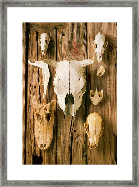 Assorted Animal Skulls On Wooden Fence Framed Print by Garry Gay