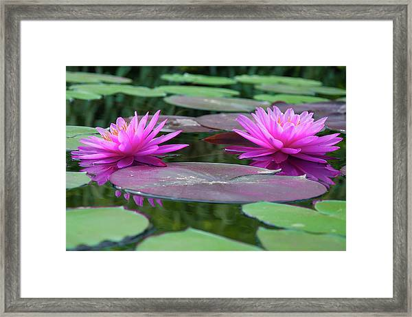 At Longwood Gardens - Water Lillies  Framed Print