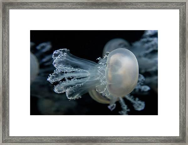 At The Monterey Bay Aquarium Jellyfish Framed Print by John Krzesinski (images By John 'k')