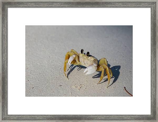 Atlantic Ghost Crab Framed Print