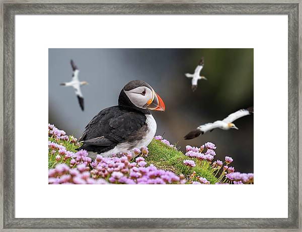 Atlantic Puffin And Soaring Gannets Framed Print