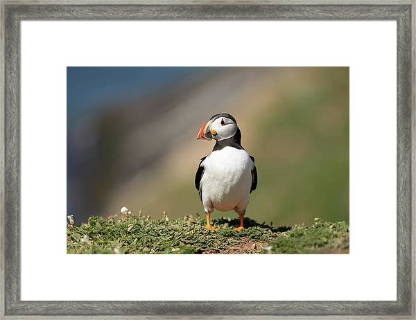 Framed Print featuring the photograph Atlantic Puffin by Elliott Coleman