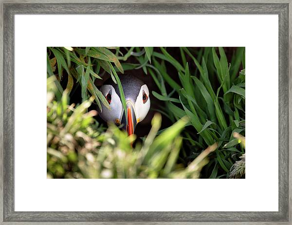 Framed Print featuring the photograph Atlantic Puffin In Burrow by Elliott Coleman