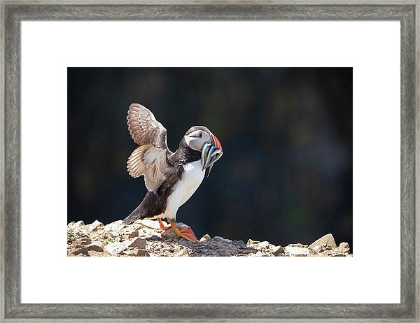 Framed Print featuring the photograph Atlantic Puffin With Sand Eels by Elliott Coleman