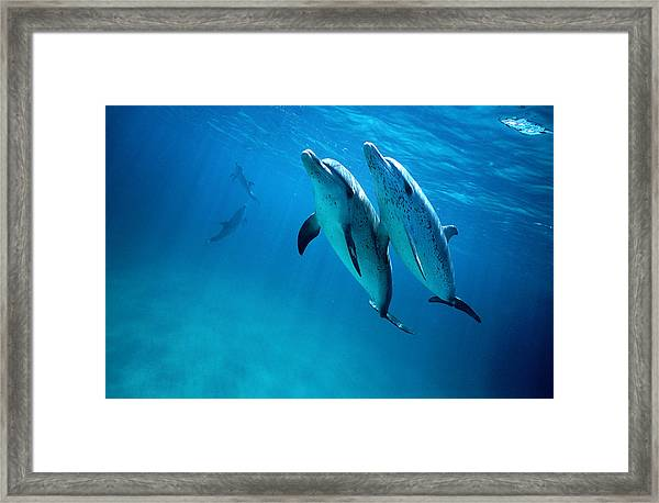 Atlantic Spotted Dolphins, Stenella Framed Print