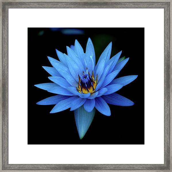 Attractive Blue, Waterlily Framed Print