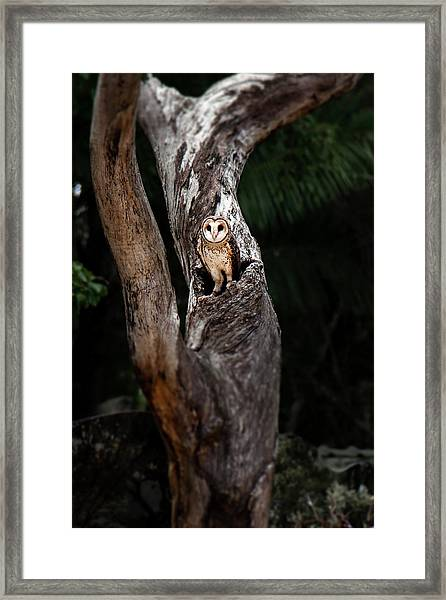 Framed Print featuring the photograph Australian Masked Owl by Rob D Imagery