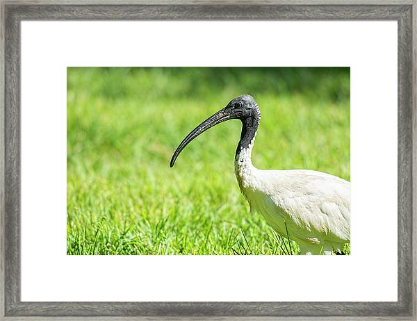 Framed Print featuring the photograph Australian White Ibis by Rob D Imagery
