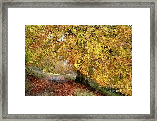 Autumn Beech Walk Framed Print by Tim Gainey