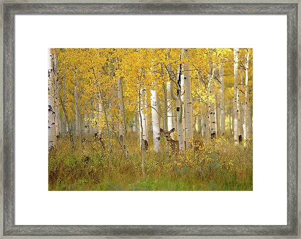 Autumn In Uinta National Forest. A Deer Framed Print