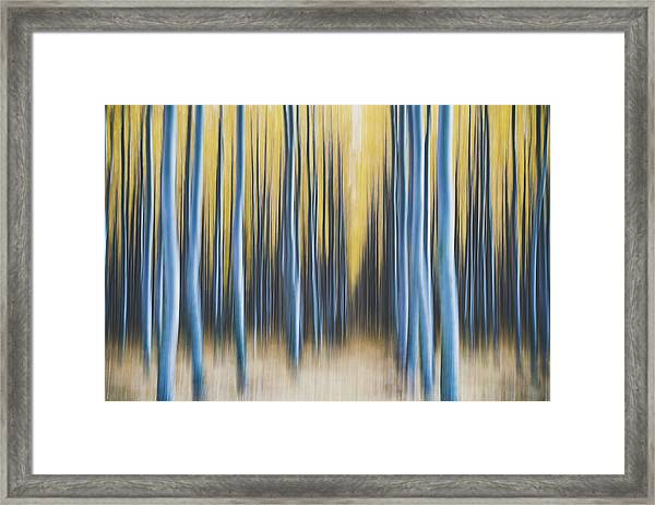 Autumn Poplars Framed Print
