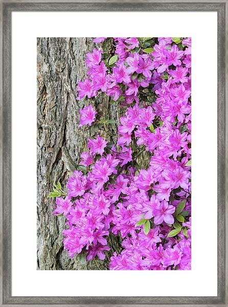 Azalea Blooms Framed Print by William Sutton