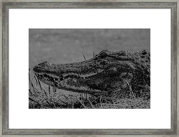 B And W Gator Framed Print