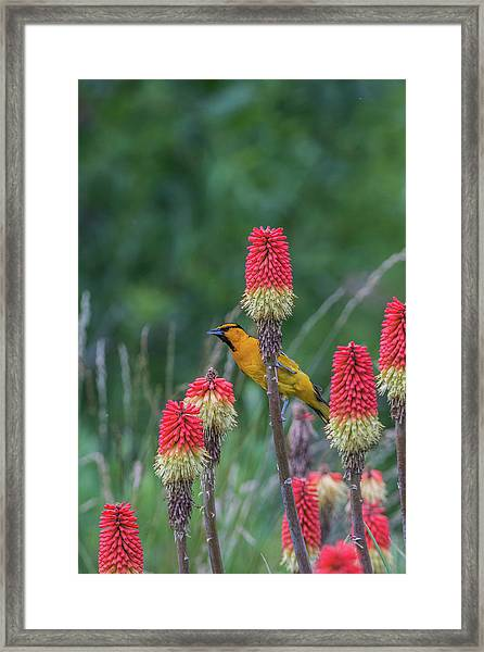 Framed Print featuring the photograph B56 by Joshua Able's Wildlife