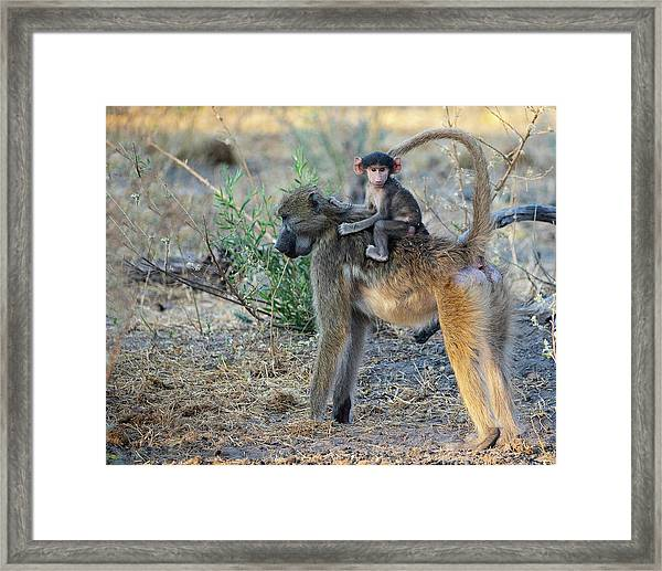 Baboon And Baby Framed Print