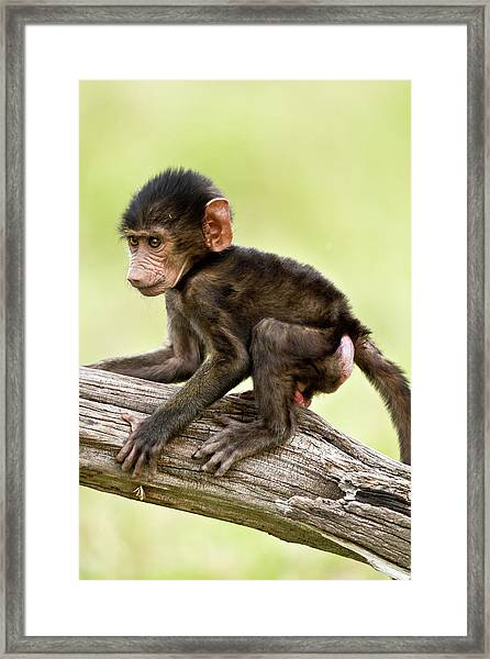 Baboon Playing On A Branch Framed Print