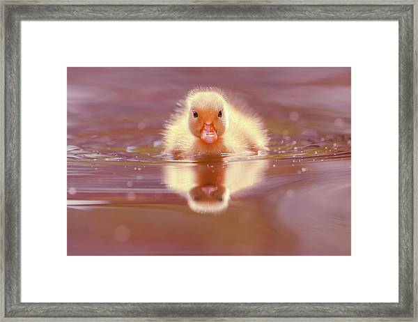 Baby Animal Series - Baby Duckling Framed Print