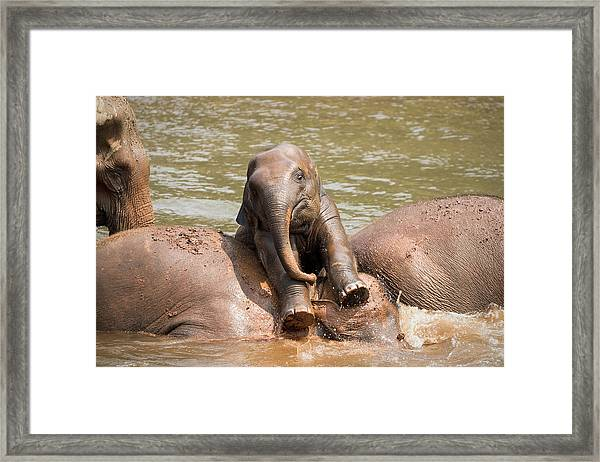 Framed Print featuring the photograph Baby Elephant by Nicole Young