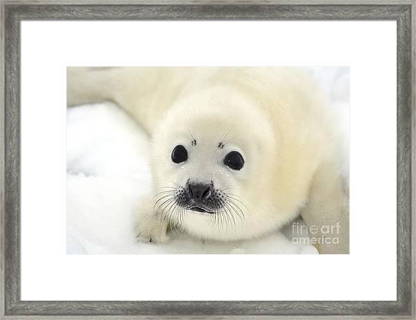 Baby Harp Seal Pup On Ice Of The White Framed Print by Vladimir Melnik