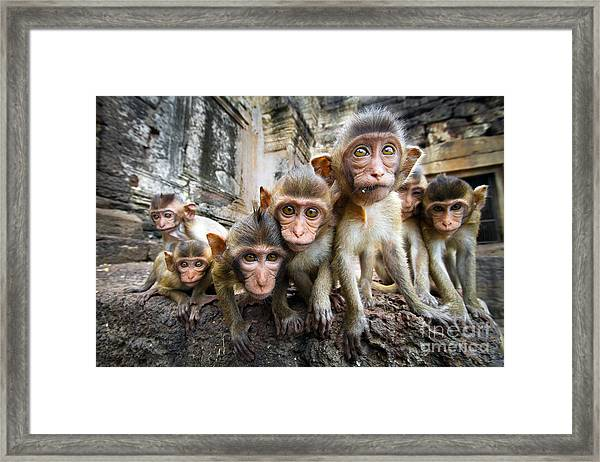Baby Monkeys Are Curious,lopburi Framed Print