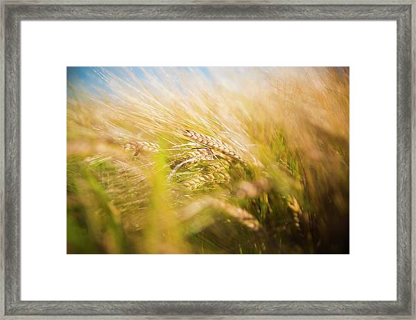 Background Of Ears Of Wheat In A Sunny Field. Framed Print