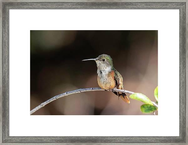 Bahama Woodstar Framed Print