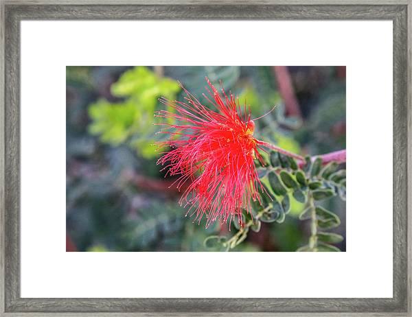 Baja Fairy Duster Framed Print