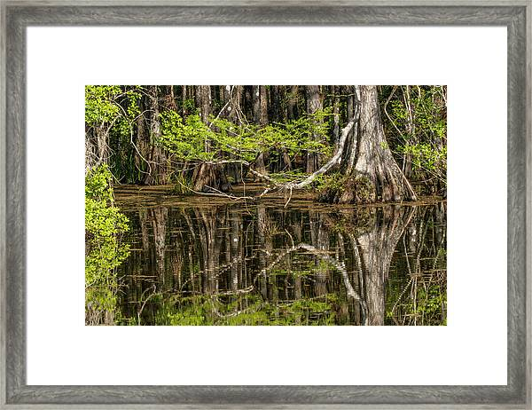 Bald Cypress Trees And Reflection, Six Framed Print