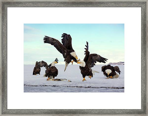 Bald Eagle Fight Framed Print