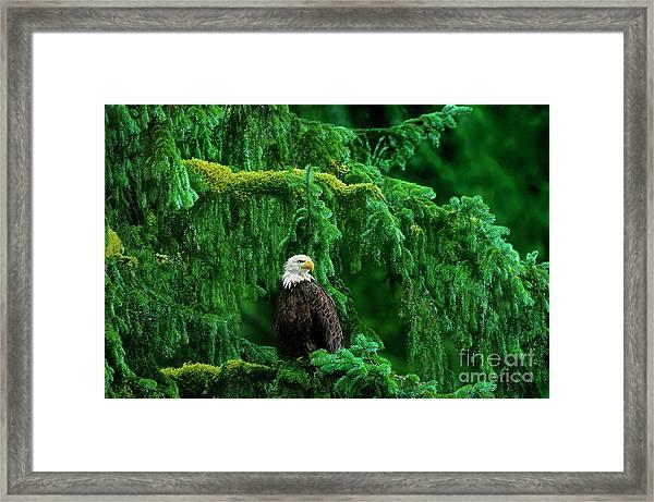 Bald Eagle In Temperate Rainforest Alaska Endangered Species Framed Print