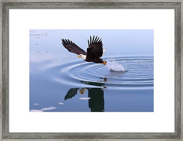 Bald Eagle Splashing In Dive Framed Print