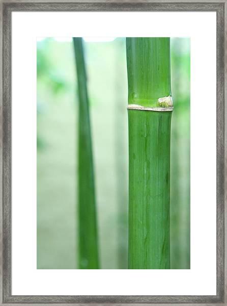 Bamboo 0312 Framed Print