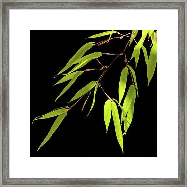 Bamboo Leaves 0580a Framed Print