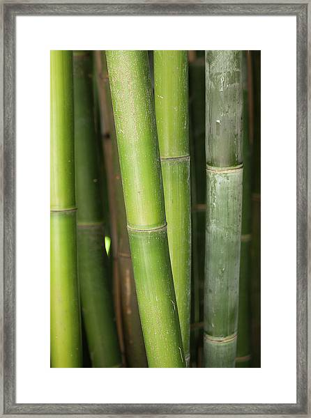Bamboo Stalk 4057 Framed Print