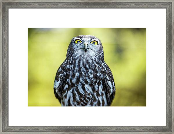 Framed Print featuring the photograph Barking Owl by Rob D Imagery
