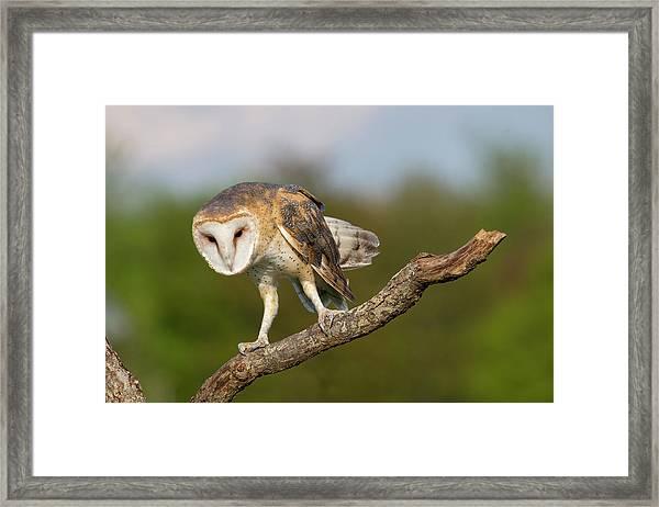 Barn Owl 5151801 Framed Print