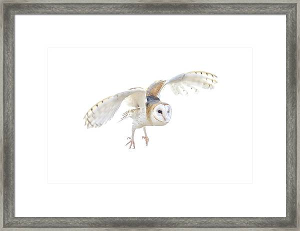 Barn Owl In Flight Framed Print