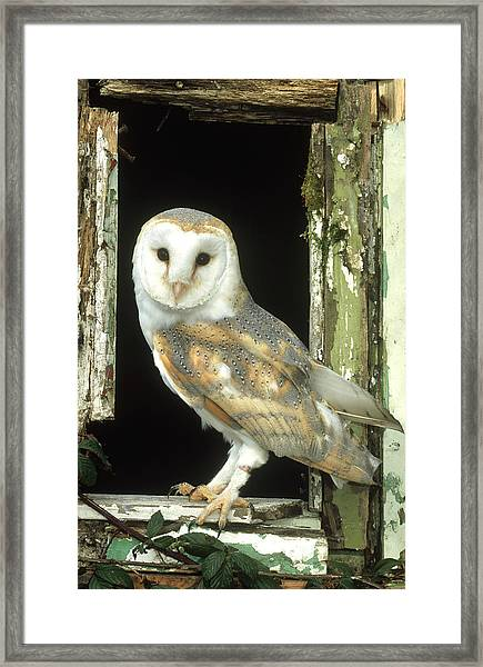 Barn Owl Tyto Alba Perched In Old Framed Print