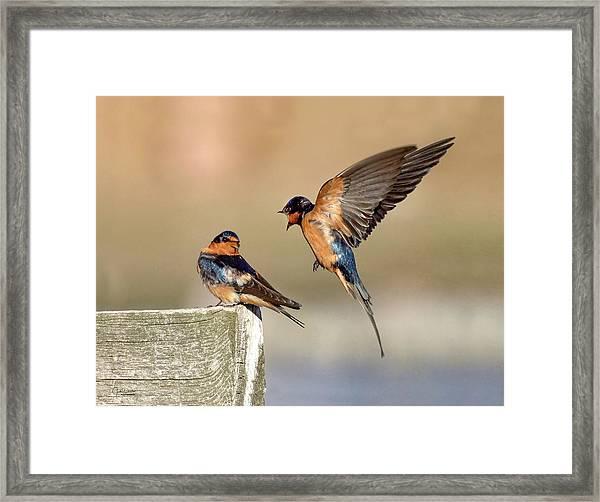 Barn Swallow Conversation Framed Print
