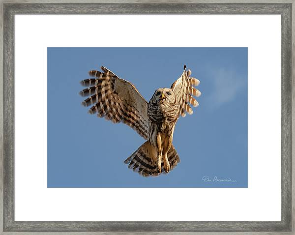 Barred Owl In Flight 0130 Framed Print